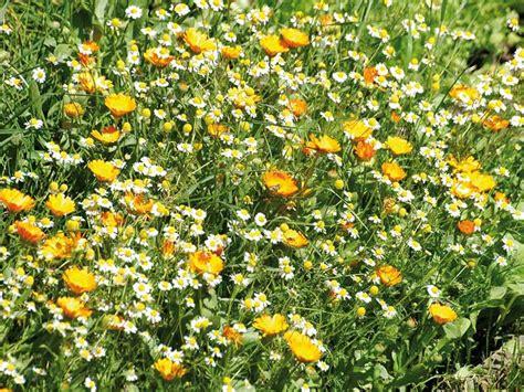 semi prato fiorito il prato fiorito giardinaggio mobi