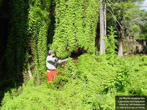 florida climbing plants lygodium microphyllum uf ifas center for aquatic and