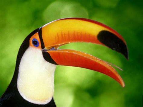 imagenes tucanes reales im 225 genes del mundo animal tucan