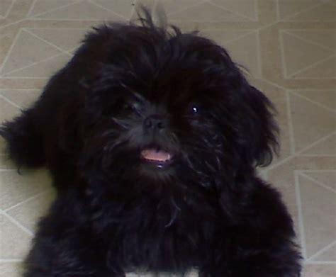 shih tzu black puppy bichon frise maltese poodle shih tzu designer breeds puppy sales blue ribbon