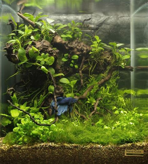betta aquascape betta nano cube with driftwood and live plants purchase