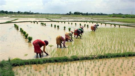 pattern of net sown area kharif crop sowing area rises with heavy rainfall during