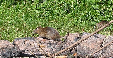 rattenbau im garten ratten im garten ratten im garten locher carprola for