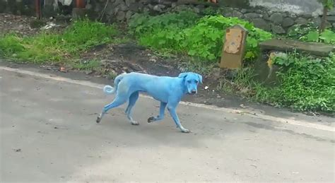 blue dogs india blue dogs spotted in india what s causing it animals national geographic