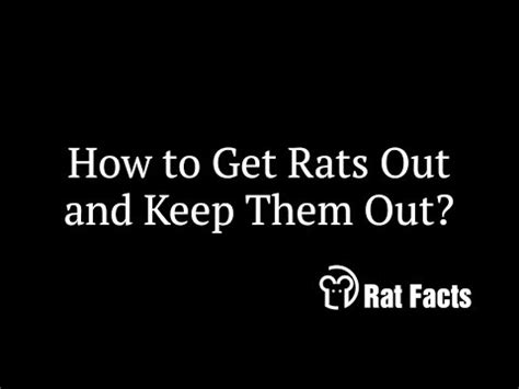 rat facts how to keep rats out of your home animals in