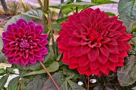 nama tanaman hias  gambarnya belajar berkebun