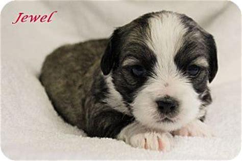 shih tzu rescue plano adopted puppy plano tx cairn terrier shih tzu mix