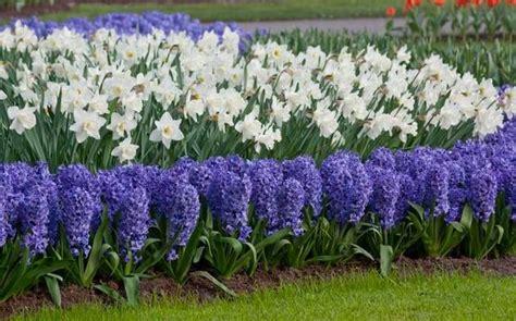 fiori per aiuole invernali colori invernali per aiuole fredde piante da giardino