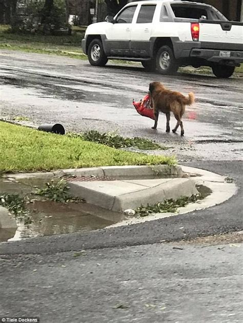 carrying bag of food seen carrying food after hurricane harvey daily mail