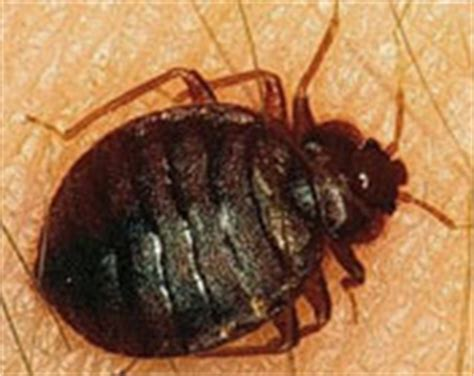 how long can bed bugs live without feeding bed bugs the good the bad and how to kill them