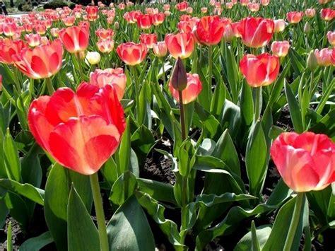 tipi di fiori e significato significato tulipano significato dei fiori conoscere