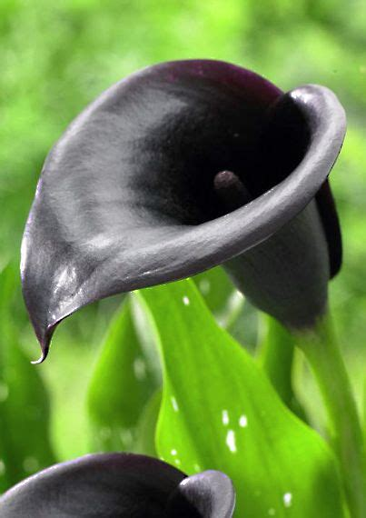 Arum Top In Black Dara 1000 images about calla lilies on flower