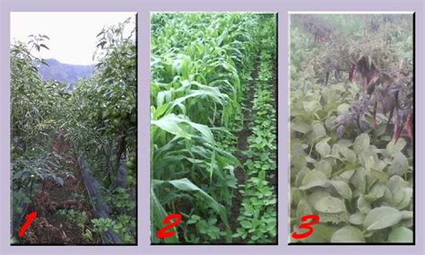 Pupuk Kalsium Untuk Cabe gambar tumpang sari cabe dan tomat jagung dan kedelai