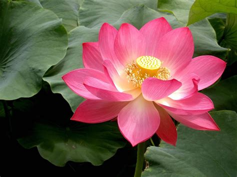 The Lotus Blossom Lotus