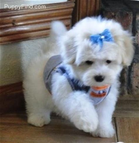 maltipoo puppies for sale in ct 123 best images about maltipoo puppies for sale on san diego los