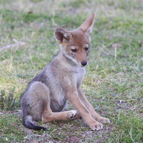 coyote puppy file gpa bill coyote pup 2 jpg wikimedia commons