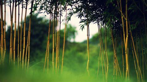 bamboo desktop wallpapers wallpaper cave