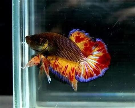 Harga Pakan Ikan Cupang macam jenis ikan cupang ikan cupang