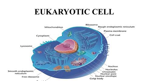 diagram of an eukaryotic cell basic structure of cell cell structure difference