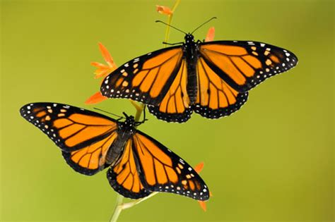 monarch butterfly site life cycle migration pictures