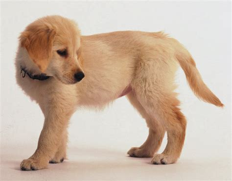 golden retriever puppy exercise the most cutest puppies in the world pictures 3 breeds picture