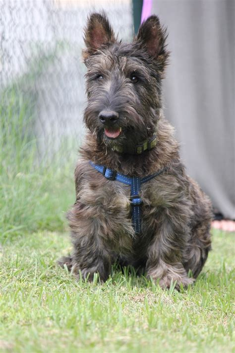 scottish terrier puppies ready for adoption schnauzer scottish terrier scottie mixed breeds picture