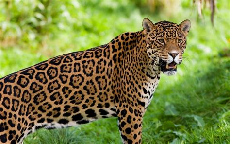 remix  jaguar animal adaptation project