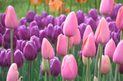 what color are tulips colors set of 1035 tulip color