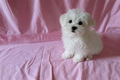 maltese puppies for sale in chicago teacup dogs for sale breeds picture