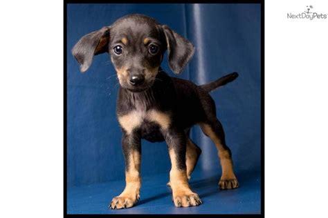 chiweenie yorkie mix puppies baby shih tzu chihuahua mix puppies