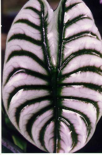 24kinds rare african anthurium seed anthurium andraeanu alocasia cuprea rare and a real stunner native to
