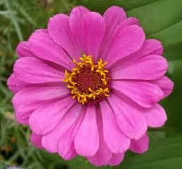 zinnia flower zinnia flowers zinnia flower pictures seeds meanings