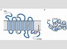 G protein-coupled receptors G Protein Coupled Receptors Diagram
