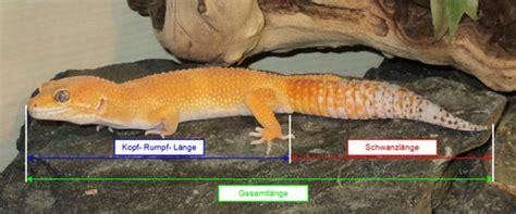 terrariengroesse der leopardgecko