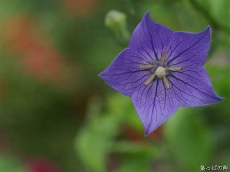 wallpaper flower star purple star shaped flowers wallpaper 1920 1600 36