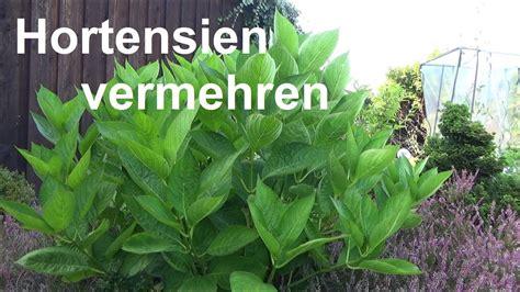 hortensien stecklinge hortensien vermehren ableger stecklinge machen hortensie