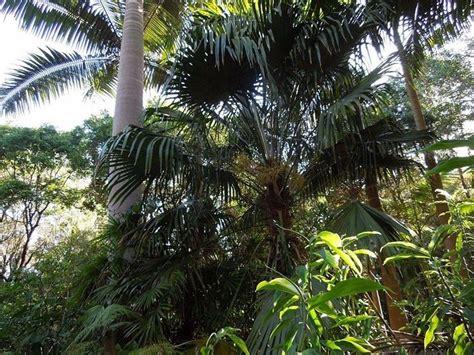 tipi palme da giardino palme da giardino alberi latifolie tipi di palme da