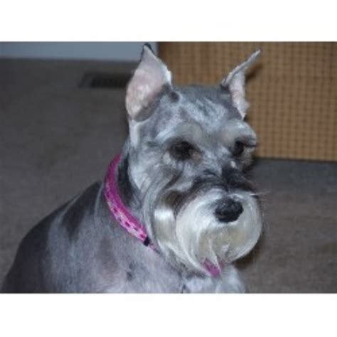 schnauzer puppies for sale in sc virginia miniature schnauzers miniature schnauzer breeder in ashland virginia