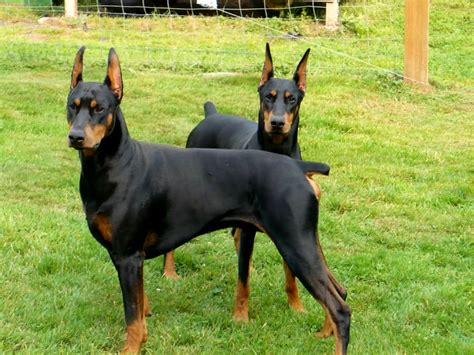 rottweiler american vs german rottweiler vs german shepherd vs doberman photo happy heaven