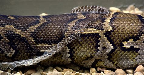 Do All Reptiles Shed Skin by The Molting Season Clergy International
