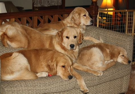 golden retriever puppies in pittsburgh pa golden retriever breeders near pa photo