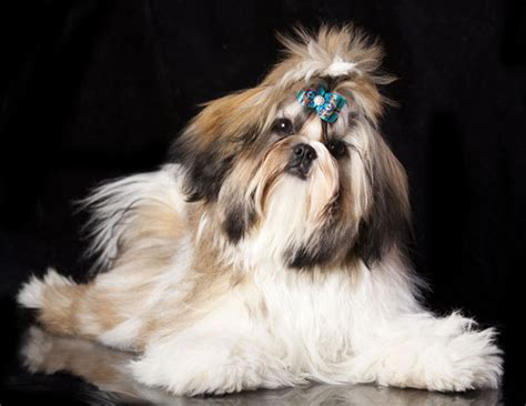 shih tzu of war get to the shih tzu of tibet