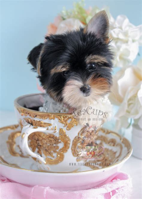 biewer yorkie puppies for sale biewer terrier puppies for sale by teacups puppies boutique teacups puppies