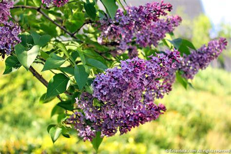 serenelle fiori oleolito di lilla o serenella syringa vulgaris