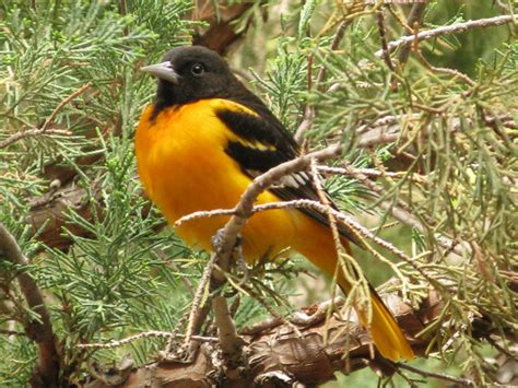 baltimore oriole icterus galbula wildlife journal junior