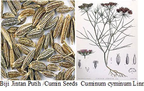 Benih Jintan Putih Cuminum Cyminum 2 herba tumbuhan khasiat jintan