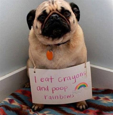 pooping pug i eat crayons and rainbows dogs and puppy tails pug pug and