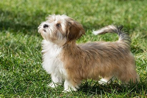 how to potty a havanese puppy are havanese to potty 3 facts you need to