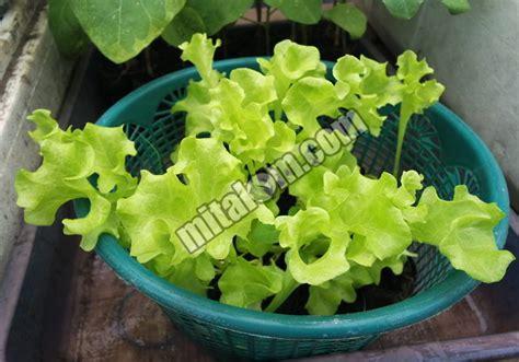 Jual Bibit Hidroponik Selada 10 langkah mudah cara menanam selada hidroponik sistem