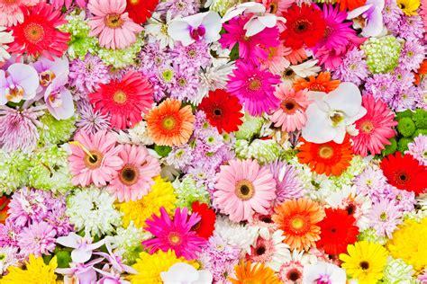 imagenes flores gerberas fondos de pantalla gerbera orchidaceae crisantemos muchas